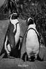 African Penguin Statue (ToddLahman) Tags: africanpenguinstatue african penguin statue africanrocks sandiegozoo sandiego canon7dmkii canon canon100400 closeup blackandwhite beautiful outdoors