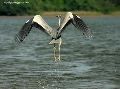 IMG_7668 Grey Heron (Ardea cinerea) (vlupadya) Tags: greatnature animal aves fauna indianbirds grey heron ardea kundapura karnataka