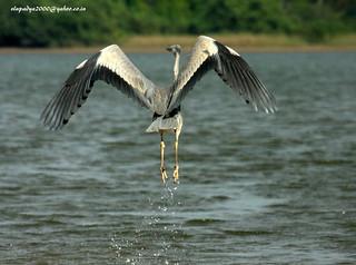 IMG_7668 Grey Heron (Ardea cinerea)