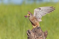 """Caccia serale"" (Simone Mazzoccoli) Tags: kestrel nature wild wildlife hunter predator outdoor sunset light action bird birdofprey"