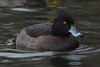 Tufted Duck (F) (MeirionWyn) Tags: northwales denbighshire 2018 winter brickfields pond nature reserve birds tufted duck