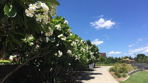 Frangipani trees, Ken Fletcher Park, Tennyson