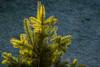 leuchtende Tannennadeln (p.schmal) Tags: olympuspenf hamburg farmsenberne tanne wintersonne