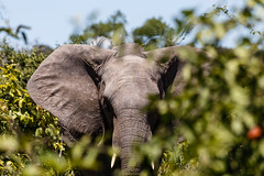 african bush elephant (Cornelia Pithart) Tags: botswana chobenationalpark loxodontaafricana safari africa africanbushelephant africansavannaelephant elephant mammal safarianimal wildlife