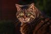 Bright Eyes (FocusPocus Photography) Tags: cleo katze cat chat gato tier animal haustier pet garten garden grüneaugen greeneyes tabby