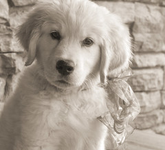 Puppies are the best! (Karon Elliott Edleson) Tags: puppy goldens pet 7dwf fauna goldenretriever mansbestfriend companion purejoy pawsome phodography dogexpressions monotone makemesmile