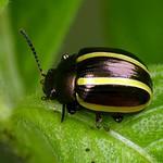 Leaf beetle, Cosmogramma kinbergi or Desmogramma bivittata? Chrysomelidae thumbnail