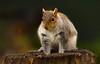 Grey Squirrel (moniquedoon) Tags: squirrel mammal animal nature naturephotography wildlife wildlifephotography cute eekhoorn natuur animalperfection natureisbeautiful hairy nikon nikkor close up closeup sharp