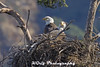 Bald Eagle Nest (KGrif_) Tags: eagle bird baldeagle losangeles california nest animal wildlife beak feathers eyes symbol above birdofprey nature rare raptor predator hunting migrate freedom fly protect stare stalk tree perch