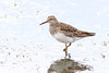 Pectoral Sandpiper / Calidris melanotus (leighpieterse) Tags: bird birdwatching birding birds calidrid calidris calidrismelanotus pectoralsandpiper wader shorebird shorebirds waders australianbirds australianbird