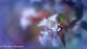 Winter lights (frederic.gombert) Tags: flower flowers light color sun plant garden colors colorful blue white flora bunch park macro nikon