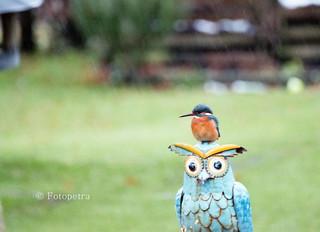Eisvogel am Gartenteich