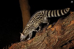 Gineta, Genet (Genetta genetta) (Nuno Xavier Moreira) Tags: gineta genetgenettagenettaemliberdadewildlifenunoxavierlopesmoreirangc animals animais nature natureza selvagem pics wildlife wildnature wild photographer portugal ao ar livre ngc nuno xavier moreira nunoxaviermoreira liberdade national geographic mamiferos mammals all xpress us genettagenetta commongenet smallspottedgenet