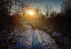 Sunset Bird in Winter (Kim Taylor Hull) Tags: sunshine sunset robertfrost sunsetbirdinwinter belgianshepherd cesare kimtaylorhull iphone iphonex missouri kcmo