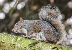 squirrel (philbarnes4) Tags: squirrel rodent tree branch dslr philbarnes nikond5500