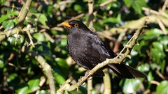 BlackBird (Turdus merula) - Male (jhureley1977) Tags: blackbird turdusmerula birds birding birdsofbritain britishbirds ashjhureley avibase naturesvoice bbcspringwatch rspbbirders ashutoshjhureley stockerslake rickmansworth rspb