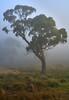 DSC05015 (diane.cotton92) Tags: fog mist tree landscape tussocks farm oberon nsw australian eucalypt