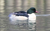 Male Goosander (queeny63) Tags: elements