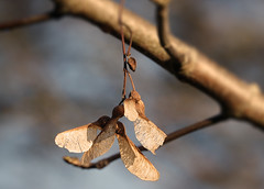 Helicopter (eric zijn fotoos) Tags: bomen holland autumn forrest blad nederland old oud vondst bos noordholland macro find seed boom zaad sonyrx103 leaf