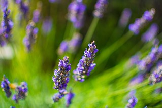 Lavender at mudbrick vineyard, waiheke New Zealand