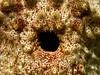 Sea Cucumber Open (PacificKlaus) Tags: siquijor philippines apodiver ocean underwater scuba diving nature macro closeup anus seacucumber holothurian echinoderm