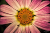 Big Daisy (fs999) Tags: 100iso fs999 fschneider aficionados zinzins pentaxist pentaxian pentax k1 pentaxk1 fullframe justpentax flickrlovers ashotadayorso topqualityimage topqualityimageonly artcafe pentaxart corel paintshop paintshoppro 2018ultimate paintshoppro2018ultimate masterphotos fleur flower blume bloem macrolife macro makro tamronspafdi90mmf28macro tamron sp af di 90mm macrolens 11 metzflash52af1digital metz flash metz52af1 ray rayflash universal l adaptateur annulaire ring adapter