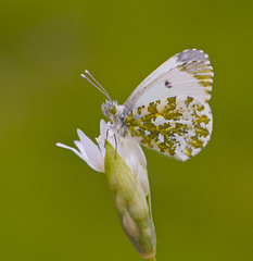 Orange - tip Anthocharis cardamines (Ivan Lynas Nature Photography) Tags: