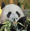 giant panda Ouwehands BB2A3668 (j.a.kok) Tags: panda giantpanda grotepanda bamboebeer bamboobear beer bear ouwehands animal china asia azie mammal zoogdier dier