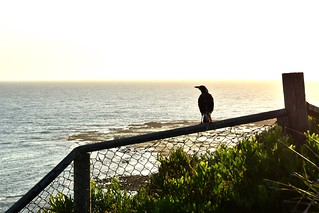A juvenile magpie at Longreef Headland, just after dawn.