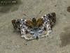 Diaeus variegata (LPJC) Tags: quitacalzones manuroad manu peru 2016 lpjc butterfly skipper diaeusvariegata