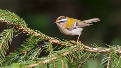 Firecrest (Distinctly Average) Tags: phillluckhurst distinctlyaverage wwwdistinctlyaveragecouk wildlife bird buckinghamshire wendover woods firecrest branch perched canon 100400ii 7dmark2 handheld