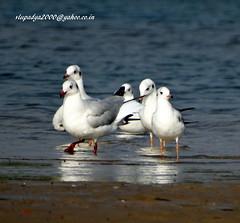 DSC00809 Black-headed Gull (Chroicocephalus ridibundus) (vlupadya) Tags: greatnature animal aves fauna indianbirds blackheaded gull chroicocephalus kundapura karnataka