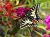 SWALLOWTAIL NORFOLK JUNE2017 (gazza294) Tags: swallowtail butterfly butterflies butterflyconservation flicker flickr flckr flkr gazza294 garymargetts