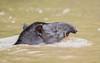 South American Tapir (2 of 3) (tickspics ) Tags: amazonbasin iucnredlistvulnerable manú manúbiospherereserve manúnationalpark manúriver peru southamerica southamericantapir tapirusterrestris tropicalrainforest akalowlandtapir manuriver