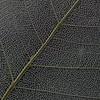 Macro leaf - No. 2 (Funchye) Tags: bodhileaf skeletonleaf bodhi leaf nikon d610 105mm