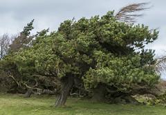 Shaped by the wind (tstzokov) Tags: stocksbridge south yorkshire panasonic lumix fz1000 field fields winter tree trees wind windy green