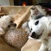 Treat? (MFMarlow) Tags: pet animal mishka charlie dogs dog treats miniaturehusky husky teacuppoodle poodle
