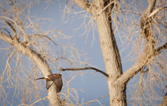 Hawk, Lake Ladora, RMA. (scepdoll) Tags: commercecity denver colorado rockymountainarsenal lakeladora nationalwildliferefuge canadiangeese winter hawk
