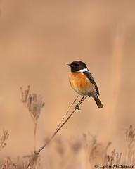 African Stonechat (leendert3) Tags: leonmolenaar birds wildlife rietvleinaturereserve nature southafrica africanstonechat ngc coth5 npc