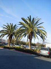 DSCN2629 (earthdog) Tags: 2017 nikon coolpix s7000 nikoncoolpixs7000 needstags needstitle tree palmtree palm sanjose
