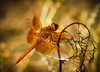 """""""Bright and Beautiful"""" Flame Skimmer Dragonfly (Cathy Lorraine) Tags: flameskimmer dragonfly macro insect sedona arizona outdoors nature bright beautiful day orange sparkling wings bokeh"""