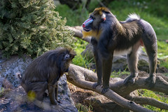 Baboon submission - Explore 12/30/17 (patricia.ricehertogh) Tags: nikon d4s 70200mm f28 baboon outdoors animals mammals san francisco zoo