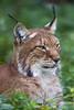 Lynx lying in the grass (Tambako the Jaguar) Tags: lying big wild cat lynx grass portrait face cute berlin tierpark germany nikon d5