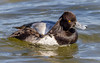 The Itch (tresed47) Tags: 2017 201712dec 20171219marylandbirds birds cambridge canon7d content december ducks fall folder lesserscaup maryland peterscamera petersphotos places scaup season takenby us