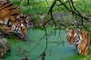 Zoo Jurques (GL Showa) Tags: jurques tigre zoo animaux félin animalplanet