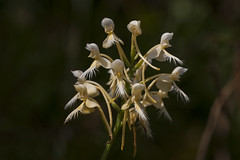 Platanthera bicolor [Explore 2018-01-02] (ab_orchid) Tags: native orchid species platanthera bicolor nativeorchidconference