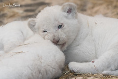 DSC_0680-1 (Linda Smit Wildlife Impressions) Tags: african white lion lioness lioncubs cubs wildlife endangered cats bigcats nature animal carnivore cecil photography nikon d750 big cat mammal zoo damnéville amnéville