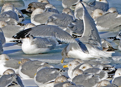 The Eyes Have It (MoodyGoat) Tags: seagulls winter ice ibsp lakemichigan