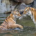 Two tigers in the water