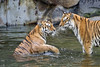 Two tigers in the water (Tambako the Jaguar) Tags: tiger big wild cat siberian amur female tigress two together playing action water bathing fun berlin tierpark germany nikon d5